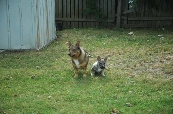Two Vallhunds